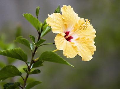yellow hibiscus plant
