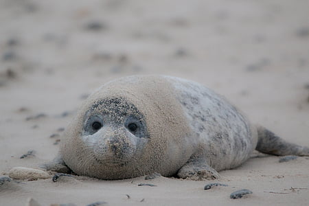 selective focus photo of gray seal lying on brown sands at daytime