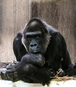 photography of gorilla