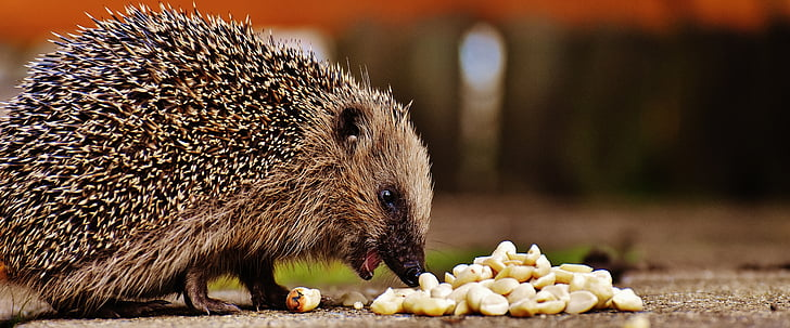 brown hedgehog eating nuts