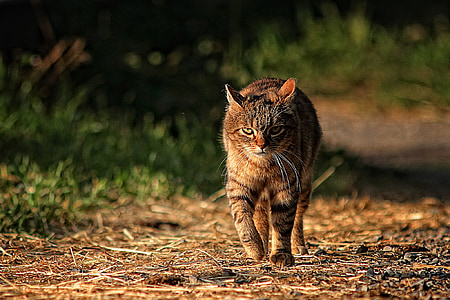 tabby cat walking on pathway