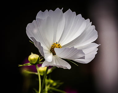white cosmos flower in bloom close up photo