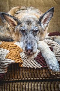 adult beige and black German shepherd prone on cloth sofa