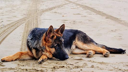 photo of adult black and tan German shepherd laying on sand
