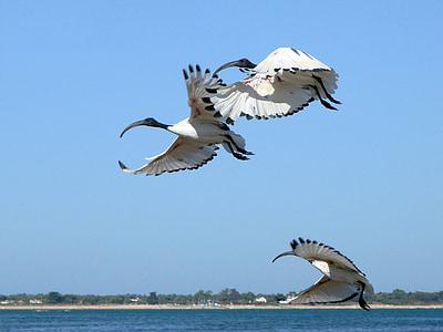 three white birds flying