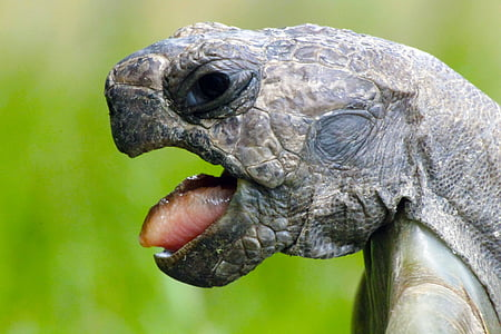 close-up photography of snapping turtle