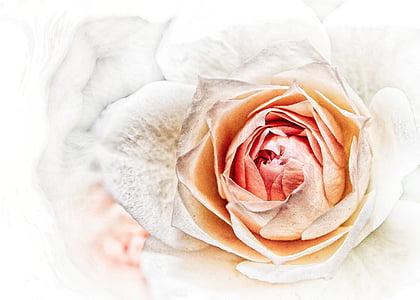 white and orange rose wallpaper