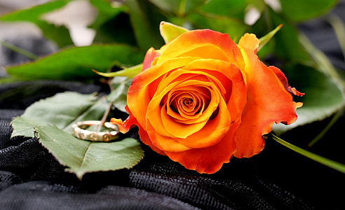 orange rose and gold-colored ring in macro photography