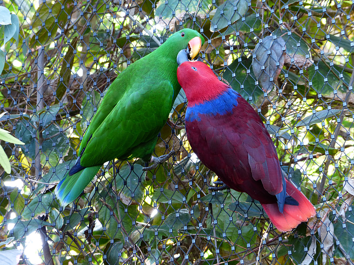 two red and brown parrots