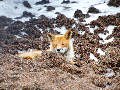 red fox, wildlife, alaska, nature, outside, country