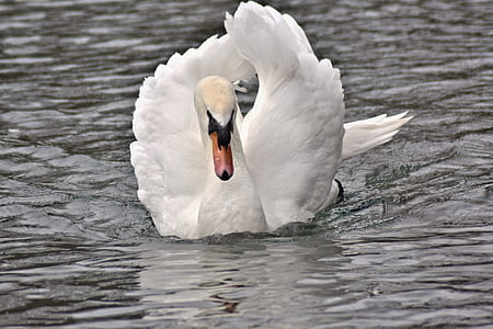 white swan floating on body of water during daytime