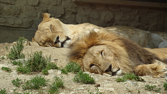 lion and lioness laying on ground