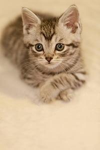 closeup photo of silver tabby kitten