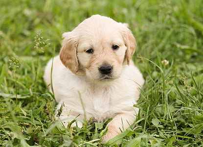 golden retriever puppy on green grass
