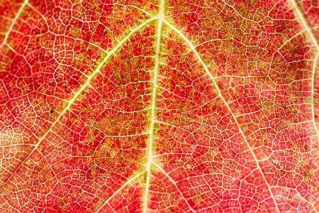 macro photography of red and yellow leaf