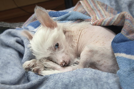 small short-coated white dog laying on blue fabric
