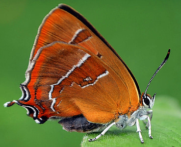 closeup photo of brown and red butterfly