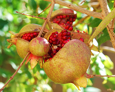 closeup photo of gray and red pomegranate fruits