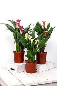 pink, orange, and white calla lilies