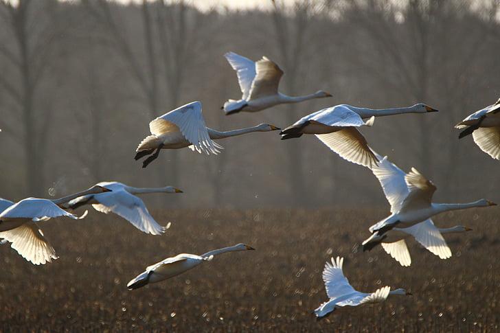 flock of pelican