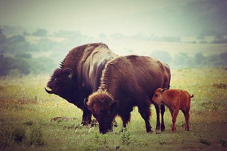 three bison on grass at daytime