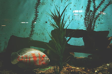 silver and orange stripe fish in water