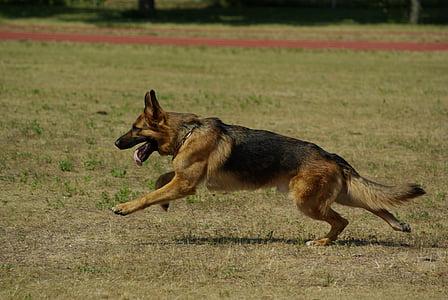 adult German shepherd running on green grass field