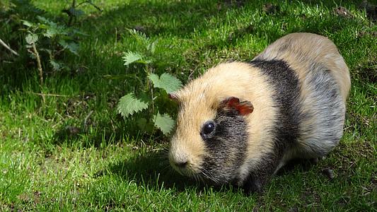 beige and black guinea pig