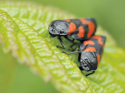 selective focus photography of mating black-and-red striped insects perched on green leaf