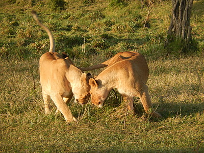 two brown lioness on green grass field during daytime