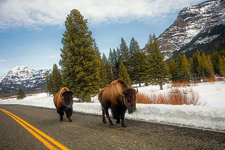 two brown yak on black asphalt road