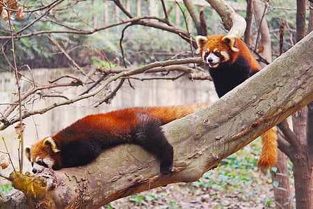 two red pandas on tree branch near a body of water