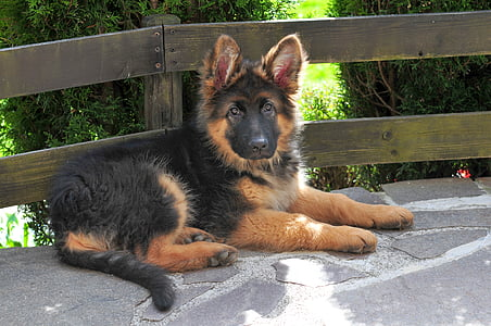 black and tan King shepherd puppy near brown wooden fence