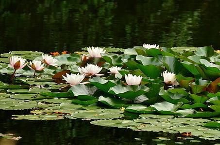 pink lotus flowers on body of water