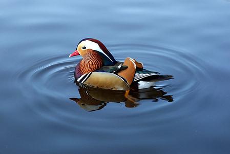 Mandarin duck onw ater