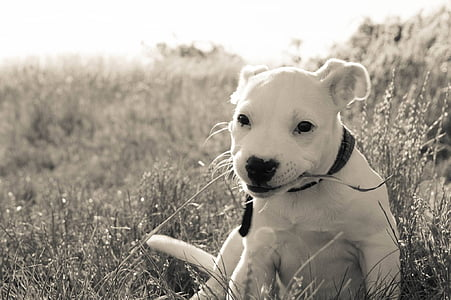 grey-scale photo of white puppy