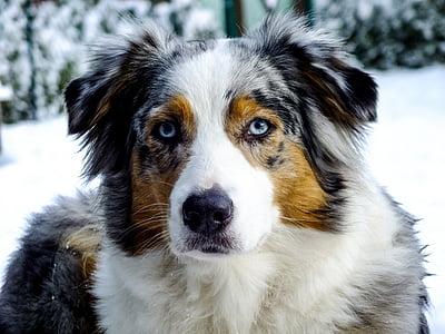 adult white, tan, and black Australian shepherd dog