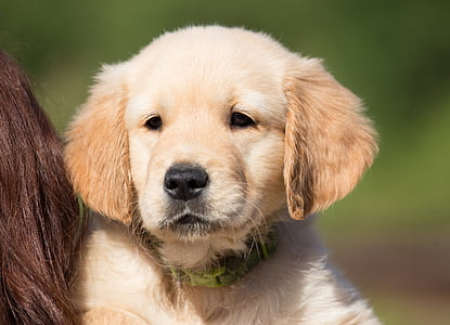 golden retriever puppy on focus photo