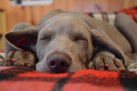 short-coated gray puppy sleeping