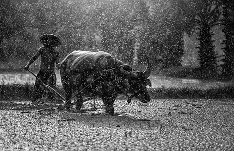 water buffalo in the field during raining