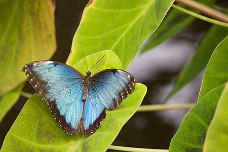 morpho butterfly perching on green leaf in close-up photography