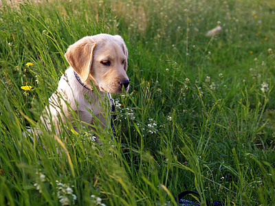 yellow Labrador retriever puppy on grass field