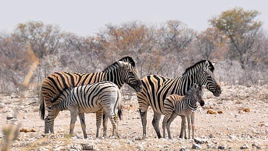 fours zebras near bare trees during daytime