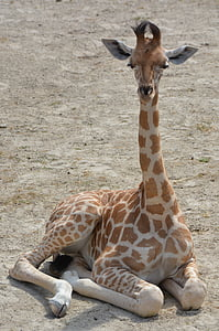 photo of brown and beige giraffe