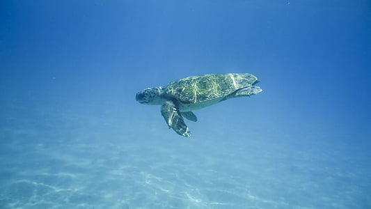 brown turtle on sea