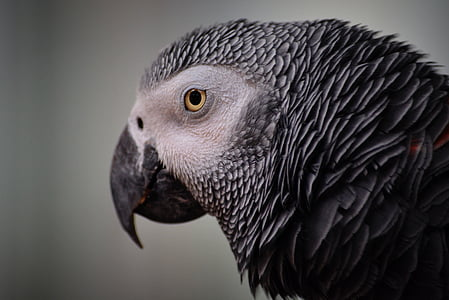 close-up photography of African gray parrot's face