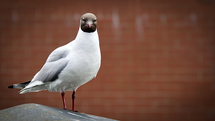 focus photo of Franklin's gull