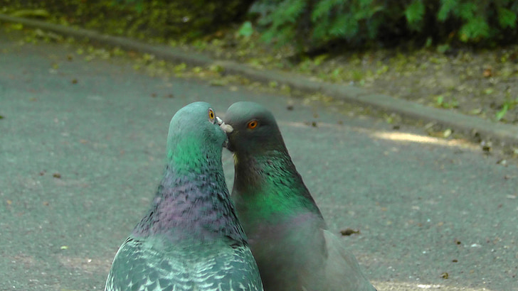 green-and-black kissing pigeons