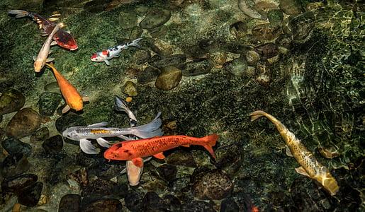 school of orange, white, and brown Koi fish