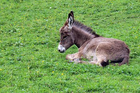 gray donkey lying on green grass